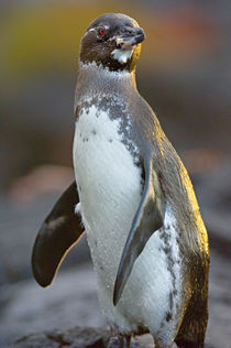 Close-up of a Galapagos penguin (Spheniscus mendiculus) von Panoramic Images