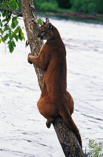 Female cougar perched on leaning tree trunk, Minnesota, USA. von Panoramic Images