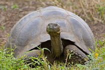 Close-up of a Galapagos Giant tortoise (Geochelone elephantopus) von Panoramic Images