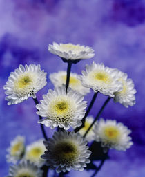 Selective focus close up of a bouquet of white and yellow chrysanthemums by Panoramic Images