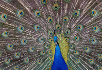 Peacock bird displaying feathers, portrait. von Panoramic Images