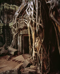 Banyan tree (Ficus benghalensis) growing in a temple, Cambodia by Panoramic Images