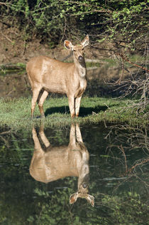 Sambar (Cervus unicolor) standing at lakeside von Panoramic Images