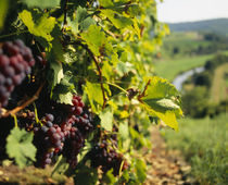 Close-up of a grape vine in a vineyard by Panoramic Images