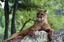 Female cougar lying on rock, Minnesota, USA. von Panoramic Images