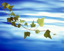 Green vine floating in blue water von Panoramic Images