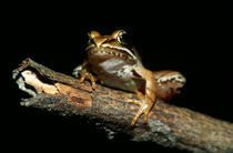 Wood Frog (Rana Sylvatica) On Dead Tree Branch by Panoramic Images