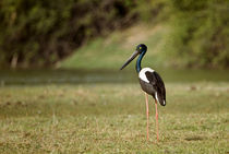 Close-up of a Black-Necked stork (Ephippiorhynchus asiaticus) by Panoramic Images