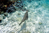 Galapagos sea lion (Zalophus wollebaeki) swimming underwater von Panoramic Images