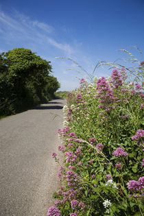 Valerian Lined Country Road, Near Cobh, County Cork, Ireland