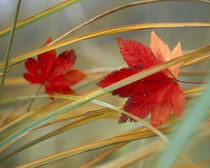 Two fall orange fall leaves amid yellow reeds with out of focus green background by Panoramic Images