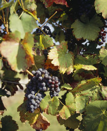 Close-up of grapes hanging on a plant in a vineyard by Panoramic Images