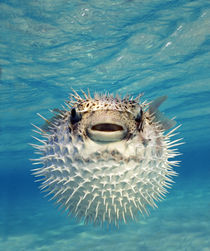 Close-up of a Puffer fish, Bahamas by Panoramic Images