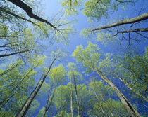 Low angle view of tall trees von Panoramic Images