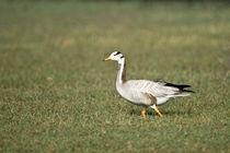 Close-up of a Bar-Headed goose (Anser indicus) von Panoramic Images