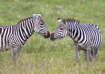 Side profile of two zebras touching their snouts by Panoramic Images