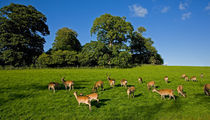 Fallow Deer in the Demesne, Doneraile Court, County Cork, Ireland von Panoramic Images