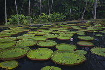 Victoria water lilies in a pond von Panoramic Images