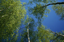 Low-angle view of birch tree canopy, blue sky, spring. von Panoramic Images