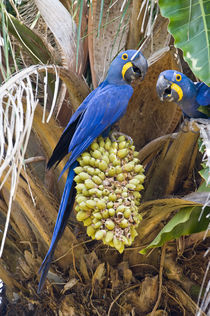 Hyacinth macaws (Anodorhynchus hyacinthinus) eating palm nuts by Panoramic Images