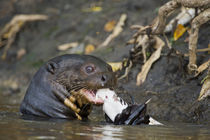 Giant otter (Pteronura brasiliensis) eating a fish by Panoramic Images