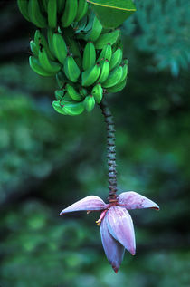 Banana Flower by Panoramic Images