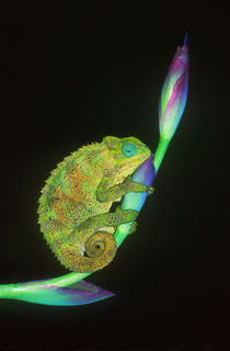 Close-up of a chameleon sitting on a flower, Tanzania von Panoramic Images
