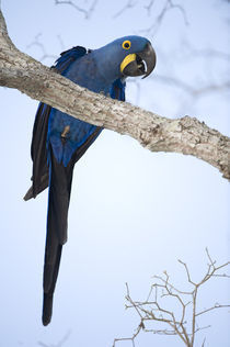 Hyacinth macaw (Anodorhynchus hyacinthinus) perching on a branch von Panoramic Images
