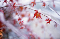 Snow On Autumn Color Leaves by Panoramic Images