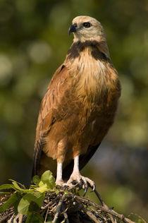 Close-up of a Black-Collared hawk (Busarellus nigricollis) von Panoramic Images