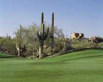 Saguaro cacti in a golf course von Panoramic Images