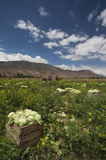 Lettuce crop in a field, Tilcara, Quebrada De Humahuaca, Argentina von Panoramic Images