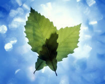 Two leaves crossed back lit by bright white light and blue sky and clouds by Panoramic Images