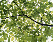 Backlit green tree branch von Panoramic Images