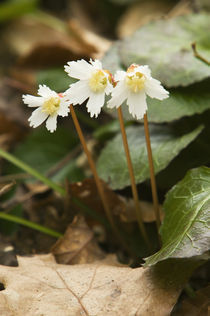 Oconee bell flowers (Shortia galacifolia) in bloom by Panoramic Images