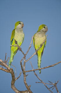 Pair of Monk parakeets (Myiopsitta monachus) perching on a branch by Panoramic Images