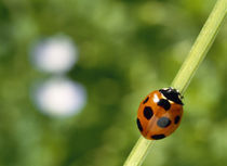 Ladybug on a stem by Panoramic Images