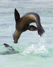 Galapagos sea lion (Zalophus wollebaeki) jumping into the sea von Panoramic Images