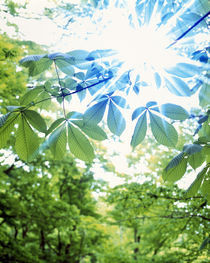 Green and blue leaves with brilliant light radiating through by Panoramic Images