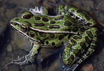 High angle view of northern leopard frog (Rana pipiens) in shallow water von Panoramic Images