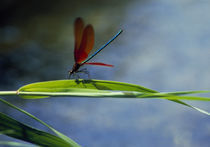 Dragonfly perching on grass von Panoramic Images
