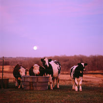 Cows at sunset Delano Minnesota by Panoramic Images