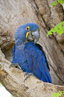 Close-up of a Hyacinth macaw (Anodorhynchus hyacinthinus) von Panoramic Images
