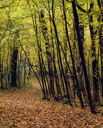 Forest trail through autumn color trees by Panoramic Images