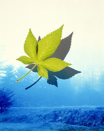 Single oak leaf floating in front of mountains and stream, by Panoramic Images