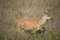 Marsh deer (Blastocerus dichotomus) in a field von Panoramic Images