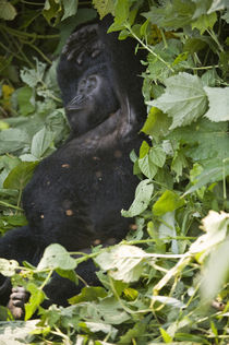 Mountain gorilla (Gorilla beringei beringei) sleeping in a forest by Panoramic Images