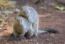 Two mongoose mating, Lake Manyara National Park, Tanzania von Panoramic Images