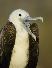 Close-up of a juvenile Magnificent Frigatebird (Fregata magnificens) by Panoramic Images