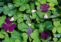 Wood Sorrel Plants (Oxalis Oregana) by Panoramic Images